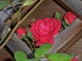 2014_06_22_Rose_5
