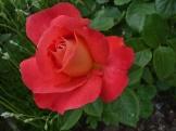 2014_06_26_Rose_6