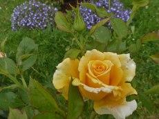 2014_07_27_Rose_5
