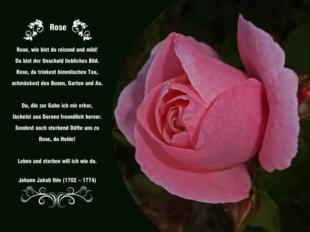 Rosengedicht gedichte von rilke bilder