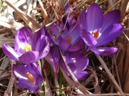 2015_03_18_Crocus_23
