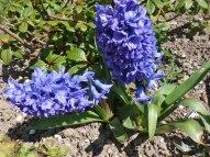 2015_04_19_Hyazinthe_1