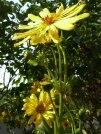 2015_08_09 Staudensonnenblume 4