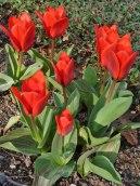 Frühe, kleiine Tulpen