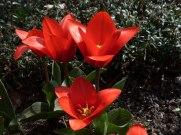 Frühe, kleiine Tulpen 13