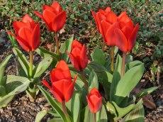 Frühe, kleiine Tulpen 2
