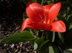 Frühe, kleiine Tulpen 5