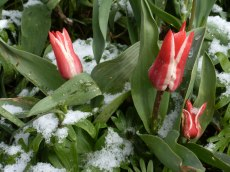 Tulpen – Schnee 3