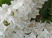 Weißer Flieder 2