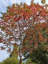Essigbaum ohne Blüten im Herbst 2