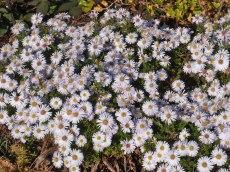 Kleine Herbstastern 14
