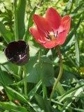 Tulpen 14
